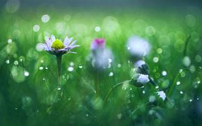 grass, dew, Flowers, Macro