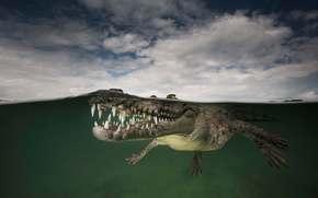 взгляд, гребнистый крокодил, Crocodylus porosus, saltwater crocodile, Jardines de la Reina, Cuba