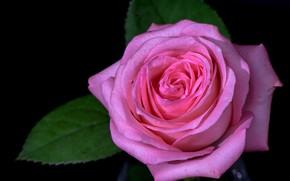 rosa, fiore, flora