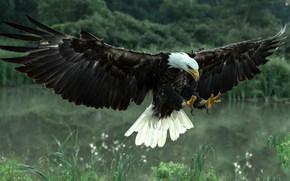 Bald Eagle, hawk, bird, predator, wings