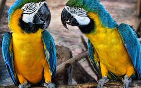 macaw, Parrots, birds