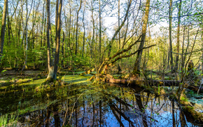 forest, swamp, trees, nature