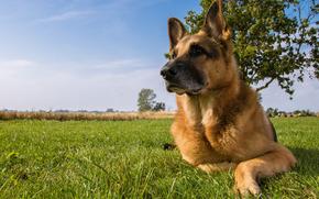Немецкая овчарка, овчарка, собака, луг