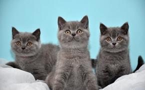 Gatinhos, trio, Brit?nico, Trindade, British Shorthair