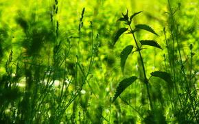 植物, 荨麻, 宏