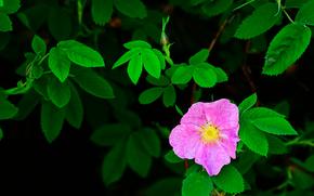 briar, flower, foliage, flora