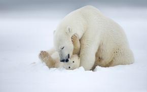 белый медведь, полярный медведь, Аляска, медведи, Alaska, медведица, медвежонок, детёныш, материнство, любовь, снег, зима
