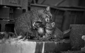 cat with kittens, cat, Kittens, kids, Motherhood, Moidodyr, Mono, black and white