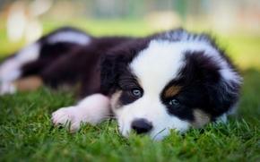Australian Shepherd, Aussies, cane, cucciolo, museruola, visualizzare, erba