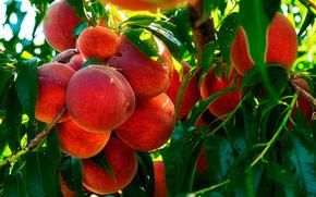 peaches, fruit, branch, foliage, nature