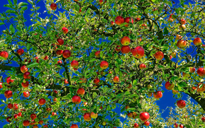 apple, apples, branch, foliage, fruit, nature
