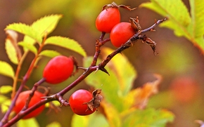 branch, briar, foliage, fruit, Macro