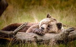 bear, Bruin, recreation, log