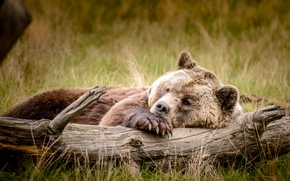 отдых, бревно, топтыгин, медведь