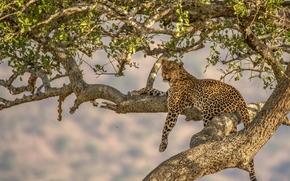 leopardo, gato selvagem, predador