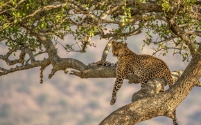 леопард, дикая кошка, хищник