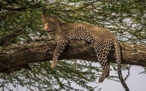 predador, gato selvagem, leopardo