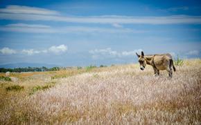 Donkey, burro, cloudy, grass, sky, trees