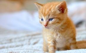 ginger kitten, kitten, Red, baby