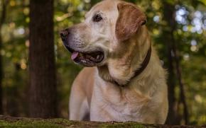 Лабрадор-ретривер, собака, пёс