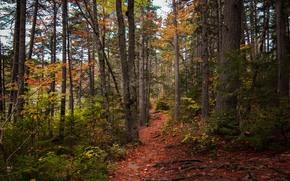 foresta, alberi, sentiero, autunno, natura
