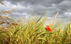 campo, spighe di grano, papavero