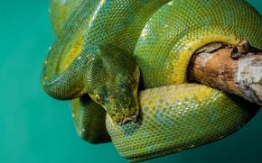 Python, питон, змея