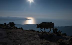 cow, sea, island, evening, twilight, road, Barbagia, Corsica, France, landscape