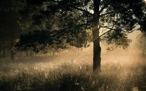 Лес, сумерки, деревья, сосна, природа