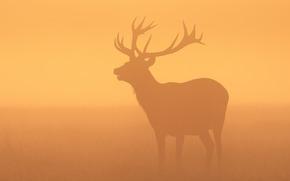 животные, трава, рога, дикая природа, Олень