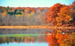 autunno, lago, Cigni, foresta, alberi, paesaggio