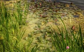 étang, lentille d'eau, plantes, nature