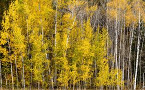 autunno, foresta, alberi, natura