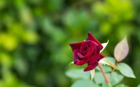 rosa, BUD, Macro