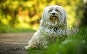 Гаванский бишон, собака, взгляд