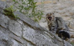 COTE, cat, scratch-cat