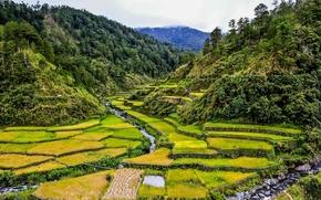 Barlig, Mountain Province, Philippines, рисовые поля, горы, днревья, пейзаж