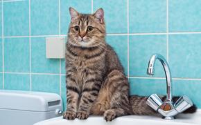 британская, короткошерстная, кошка, British Shorthair