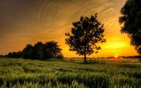 tramonto, campo, spighe di grano, alberi, stradale, paesaggio
