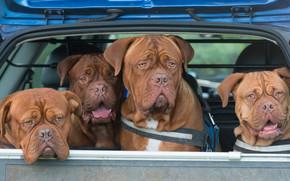 Dogue de Bordeaux, Dog, quartet, machine, body