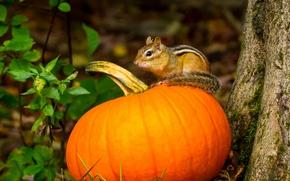 chipmunk, pumpkin, autumn