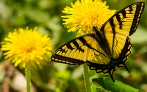 Парусник главк, бабочка, одуванчики, цветы, макро