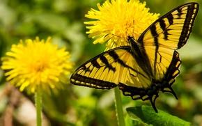 Blowball, Flores, borboleta, Macro, Veleiro Glaucus