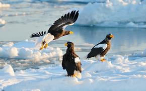 Hokkaido, giappone, Hokkaido, Giappone, L'aquila di mare di Steller, falco, uccelli, predatori, nevicata, inverno