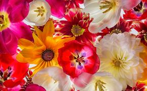 TULIPS, dahlias, Petals