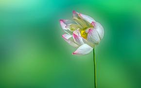 Loto, Flor, loto, flor, Macro