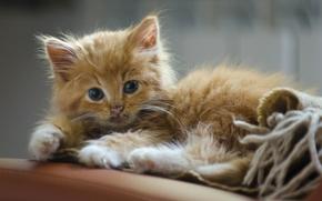 ginger kitten, kitten, Red, view
