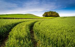 campo, spighe di grano, alberi, paesaggio