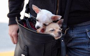 чихуахуа, собаки, парочка, сумка, в сумке
