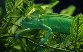 chameleon, lizard, BRANCH, foliage, greens